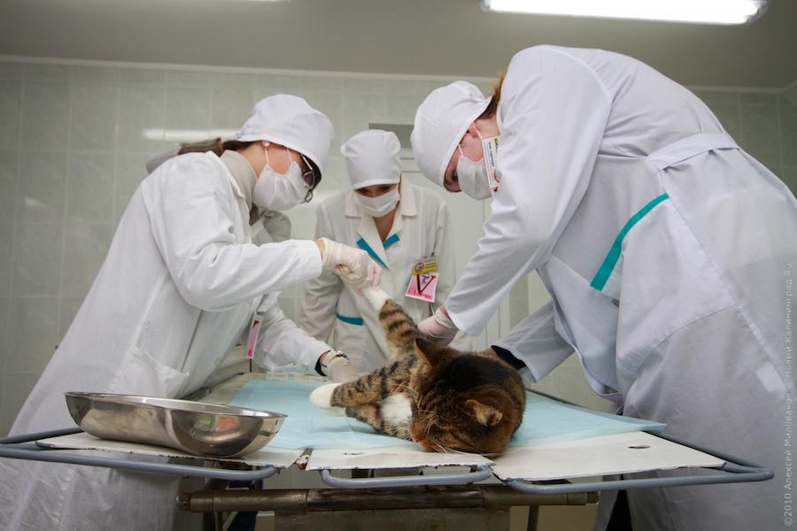Стерилизация кошки на дому городе Клин и Клинком районе Московской области