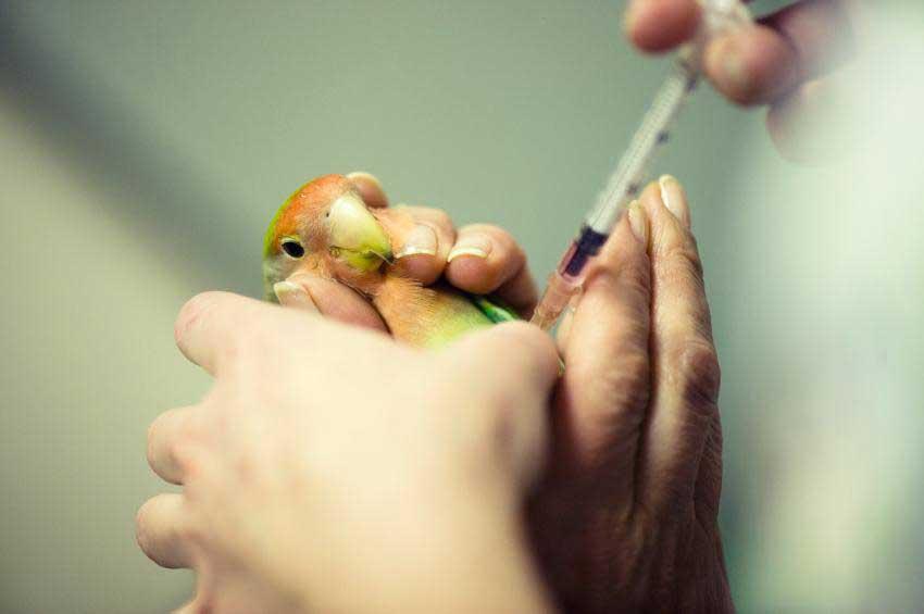 Лечение птиц (перечислить виды) попугай, амадин, карела попугай, волнистый попугай, голуби, неразлучники) в Клину и Клинском районе Московской области