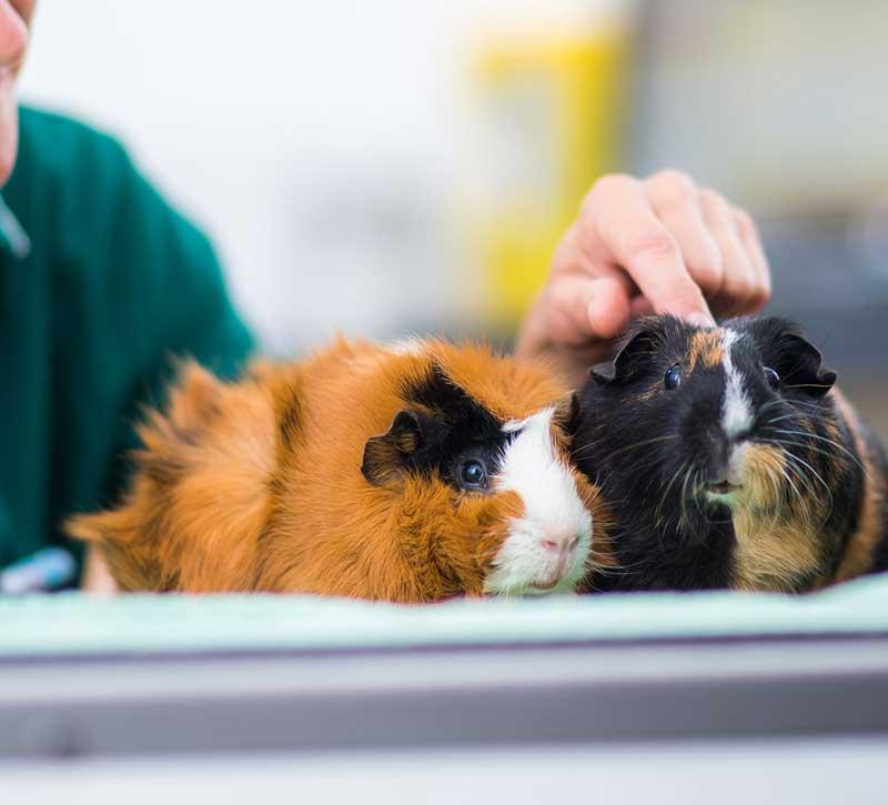 Подрезание зубов у морской свинке в городе Клин